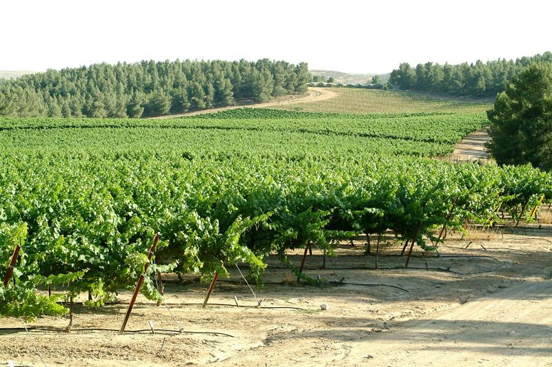 Vineyard Yatir Forest