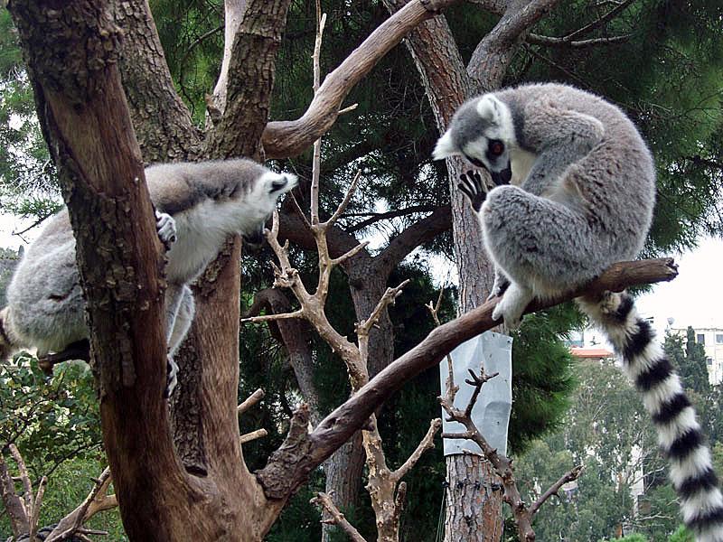 Native Lemurs in the Western Galilee