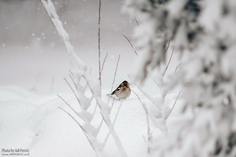The beautiful snowfall on the Golan - Thanks to Adi Peretz @ adiperetz.co.il